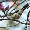 A mickey bird, an Australian native, sits in a bauhinia tree originating from China