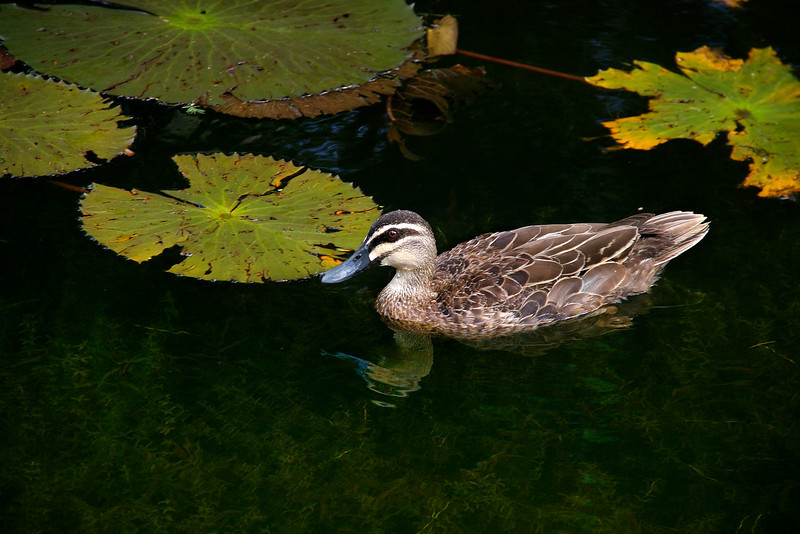 A pacific black duck in a sea of green
