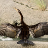 An Australasian darter dries its magnificent wings on the banks of a canal