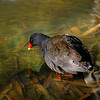 A dusky moorhen as narcissus