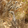 A family of five stone bush curlews evade predators by camoflage