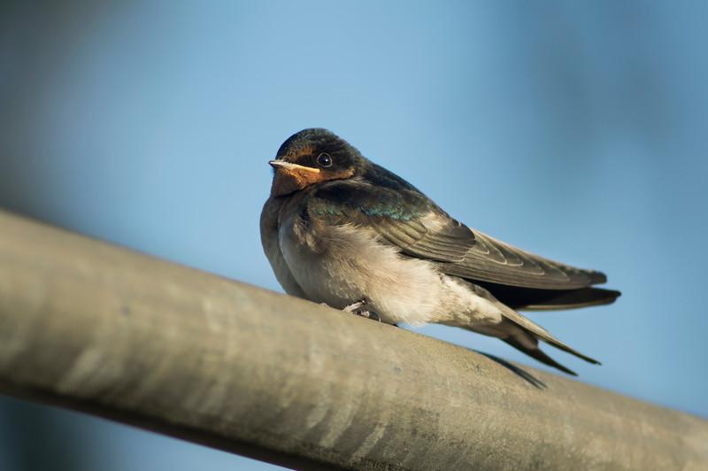 A dear little swallow on a rail