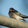 A dear little swallow on a rail