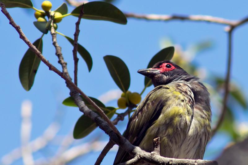 A male fig bird revels in fig season