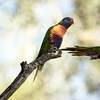 One of a pair of rainbow lorikeets takes flight