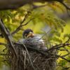 A mickey bird outgrows her nest