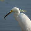 A Little Egret catches a dragonfly