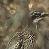 A motionless bush stone curlew hopes to evade detection