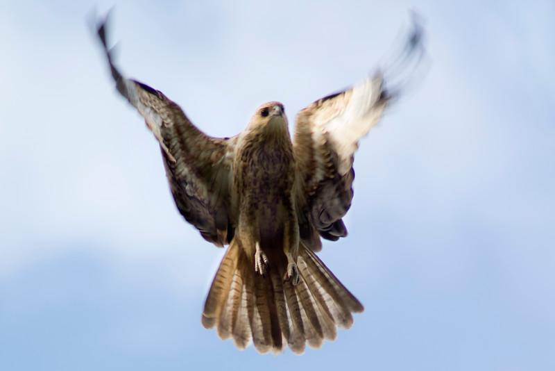 A Whistling Kite takes flight
