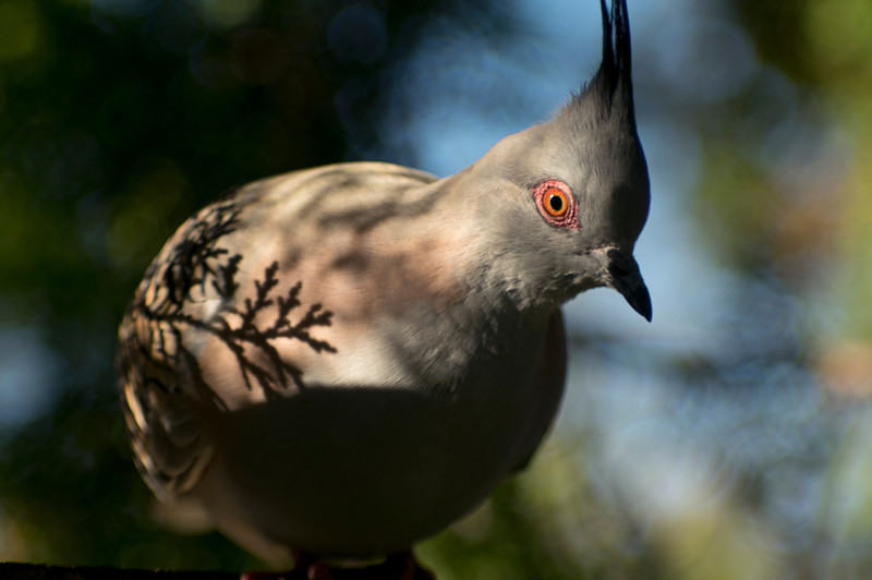 The shadow of a cypress leaf on a crested pidgeon