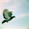 The dove, iconic to humankind, doesn't know it
