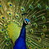 A glorious male peacock hopes to be noticed