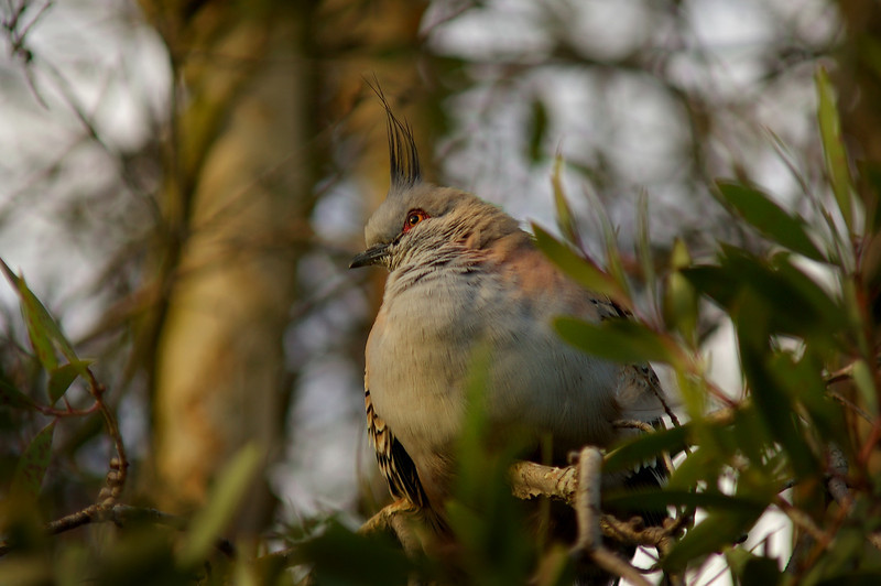 A crested pigeon faces the day's last sun