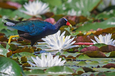 "Purple Gallinule ""Walking Across Water"" 2nd Place Winner, Wildlife SC Audubon Nature Photography Contest © Sparkle Clark"