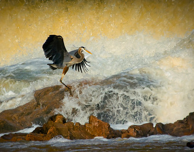 "Great Blue Heron at the Diversion Dam ""Morning's Flood""  © Sparkle Clark"