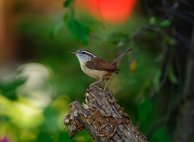 "Carolina Wren ""The Pose"" © Sparkle Clark"