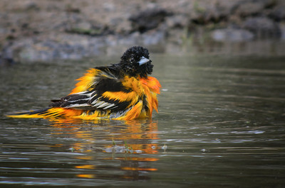 Baltimore Oriole, male Bathtime © Sparkle Clark