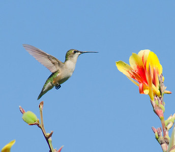 "Ruby-throated Hummingbird ""Almost There"" © Sparkle Clark"