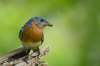 Eastern Bluebird with Breakfast © Sparkle Clark