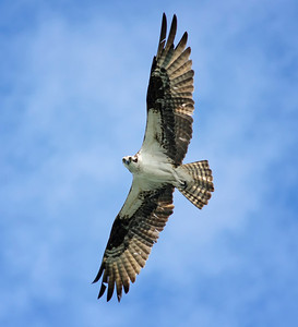 "Osprey ""Circling the River"" © Sparkle Clark"