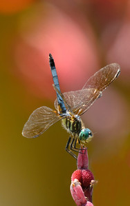 "Dragonfly ""Pastel Colors"" © Sparkle Clark"