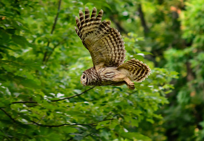 "Barred Owl ""Quiet Flight"" © Sparkle Clark"