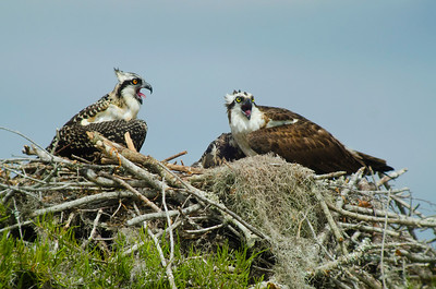 "Osprey with Nestlings in ""Cowasee Basin: the Green Heart of South Carolina"" © Sparkle Clark"