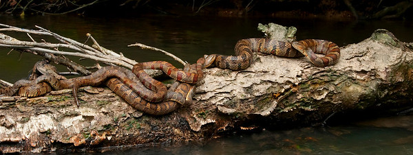 """Mating  Water Snakes """"Embracing Nature"""" © Sparkle Clark"""