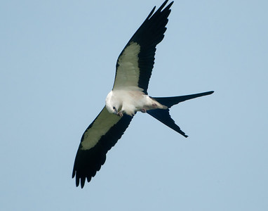 Swallow-tailed Kite with June Bug © Sparkle Clark