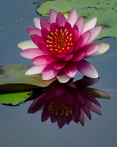 Lotus Reflection © Sparkle Clark