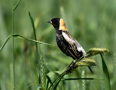 "Bobolink ""The Harvest"" © Sparkle Clark"
