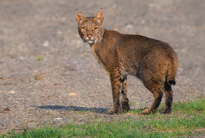 "Bobcat ""Bluff Road Bob"" in ""Cowasee Basin: the Green Heart of South Carolina"" © Sparkle Clark"