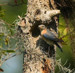"Eastern Bluebird Nest Cavity ""A New Day"" © Sparkle Clark"