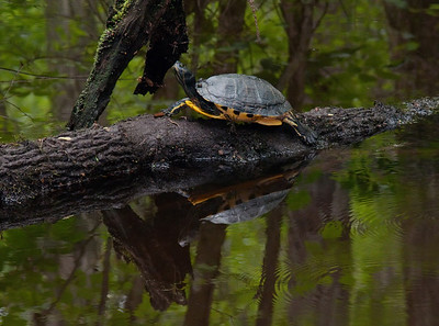Yellow-bellied Slider  © Sparkle Clark