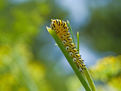 Black Swallowtail Caterpillar  © Sparkle Clark
