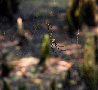 Golden Orb pair over the swamp floor © Sparkle Clark