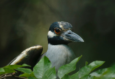 Yellow-Crowned Night Heron  © Sparkle Clark
