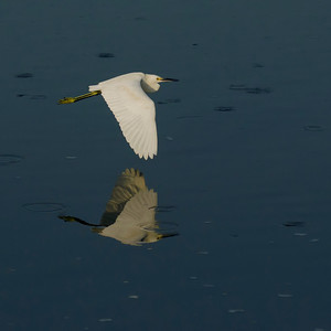 Snowy Egret in Flight © Sparkle Clark