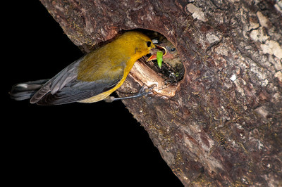 Prothonotary Warbler feeding chick © Sparkle Clark