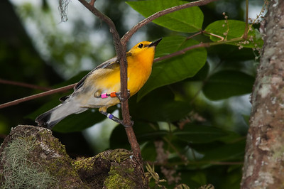 Banded Prothonotary Warbler at nest  © Sparkle Clark