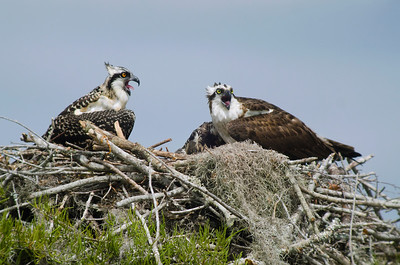 Ospreys in Nest © Sparkle Clark