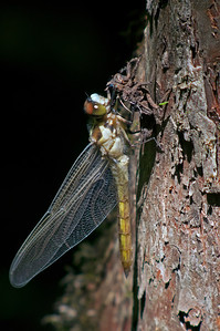 Dragonfly emerging from molting © Sparkle Clark