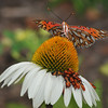 """Triple Orange""<br /> <br /> Gulf Fritillary on Coneflower with Box Elder bugs<br /> © Sparkle Clark"