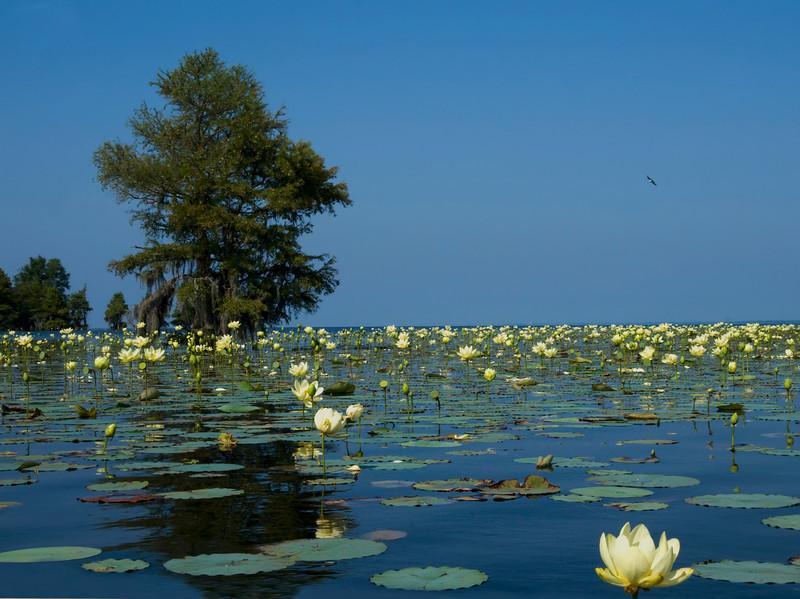 Lotus lakescape<br /> © Sparkle Clark