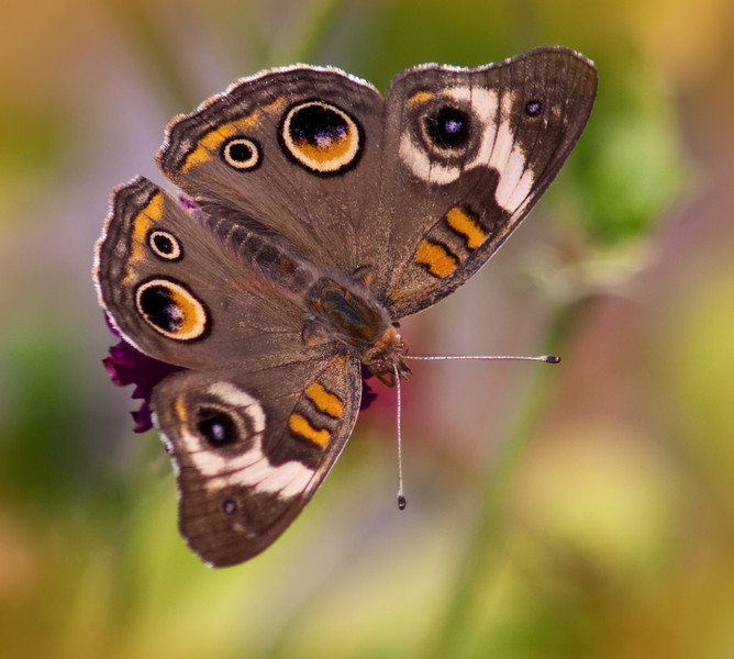 Common Buckeye II<br /> © Sparkle Clark
