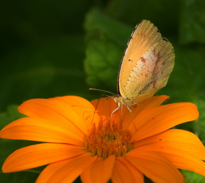 Cloudless Sulphur on Orange<br /> © Sparkle Clark