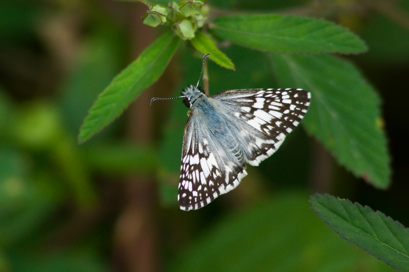 Checkered Skipper<br /> © Sparkle Clark