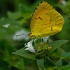 Cloudless Sulphur<br /> © Sparkle Clark