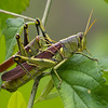 Mating Grasshoppers<br /> © Sparkle Clark
