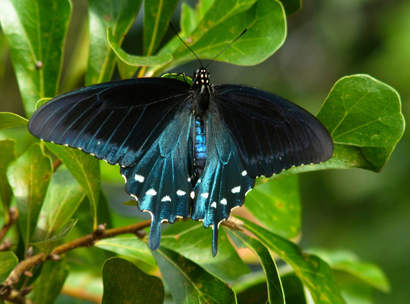 Pipevine Swallowtail<br /> © Sparkle Clark